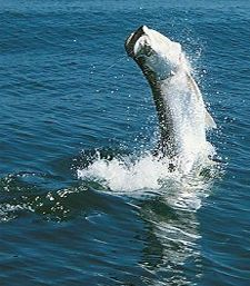 Enjoy live bait fishing for tarpon