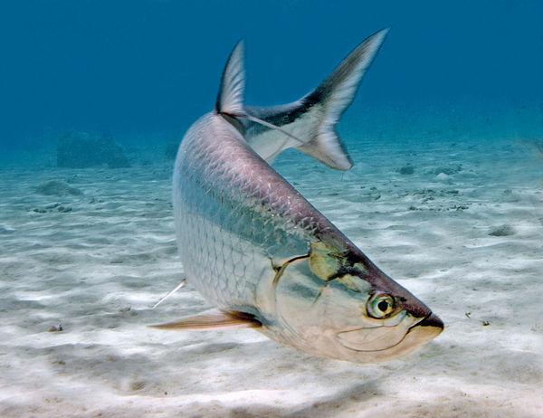 Tarpon fishing tips for Tarpon fish pictures